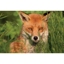 1000pc Jigsaw Puzzle Amber Fox