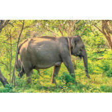 1000pc Jigsaw Puzzle Sri Lankan Elephant